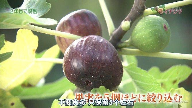 记盆栽无花果的种植与修剪